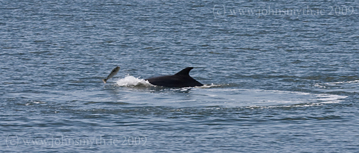 galway-dolphin-2