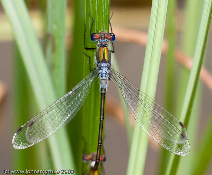 damselfly-1