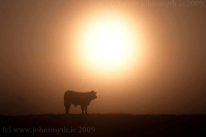 morning-cow-1