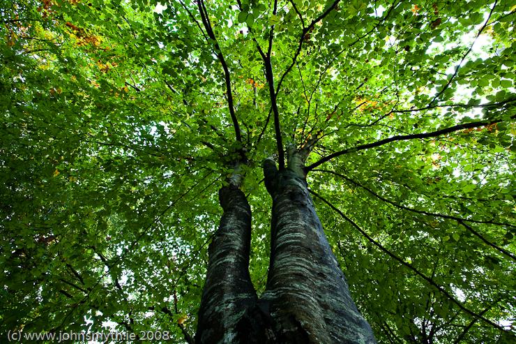 beech-tree-1